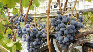 Dal Forno Harvest 2016