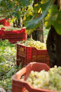 Bisol - Harvest 11 - Photo Mattia Mionetto