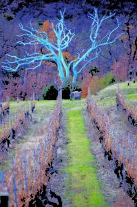Chêne Bleu - Blue Oak