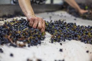 DV Grape Processing 2016