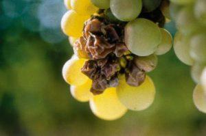 Aszú berries