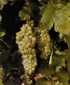 Furmint grapes