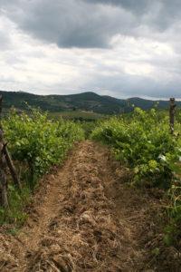 Balifico Vineyard, across from Coltassala Vineyard
