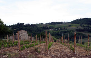 The portion of Castellino Vineyard replanted in 2005