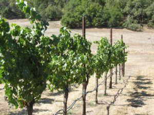Merlot vineyard toward valley - Lovall Valley