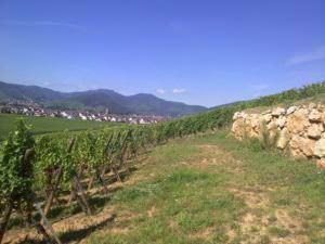 Mambourg Grand Cru Vineyard at bud break