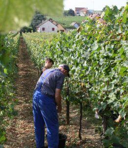 Pierre Sparr harvest hand-picking