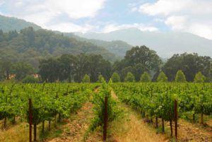RS Chardonnay Vineyard small