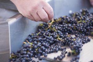 Sorting Pinot Noir 3 (King Lawrence)